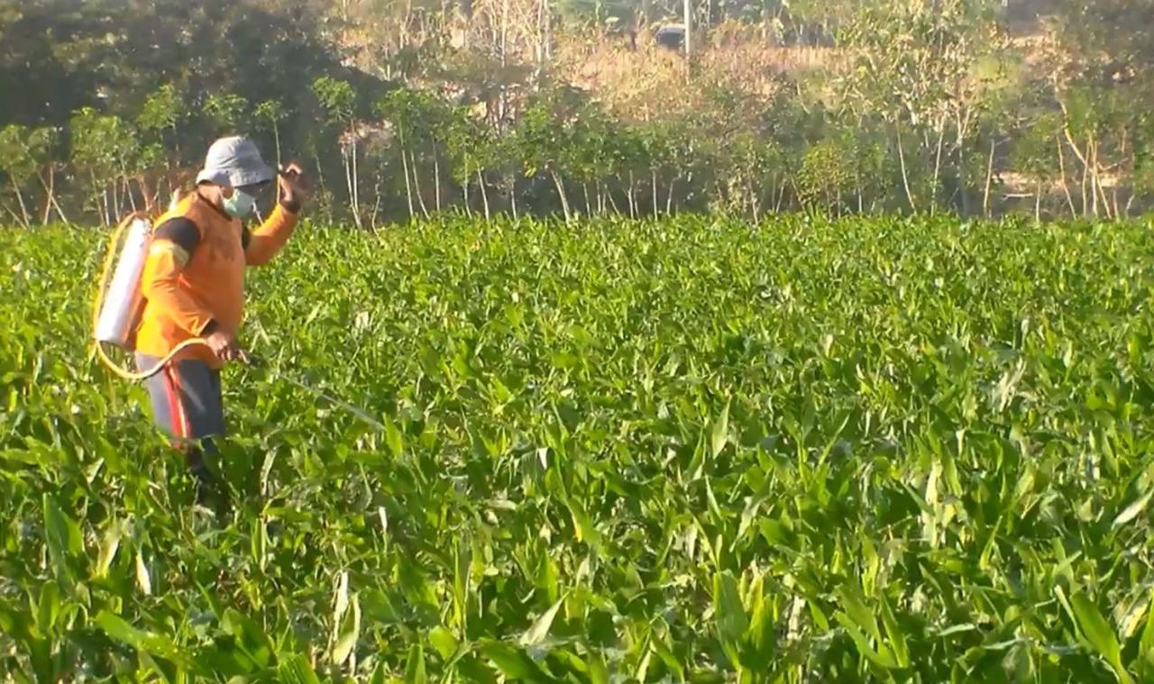 Tanaman Jagung Petani Dimakan Ulat, Dinas Pertanian Magetan Lakukan Pengendalian Hama