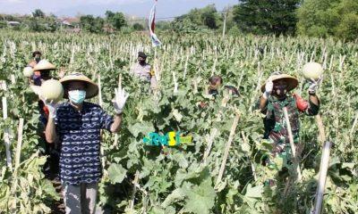 Menguntungkan, Desa Taji Kembangkan Kebun Melon Untuk Karangtaruna.