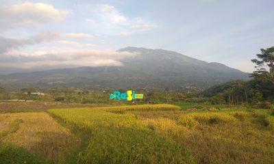 Ratusan Hektar Tanaman Padi di Magetan Terancam Serangan Wereng.